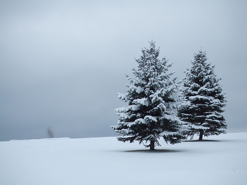 2_Firs_Snow